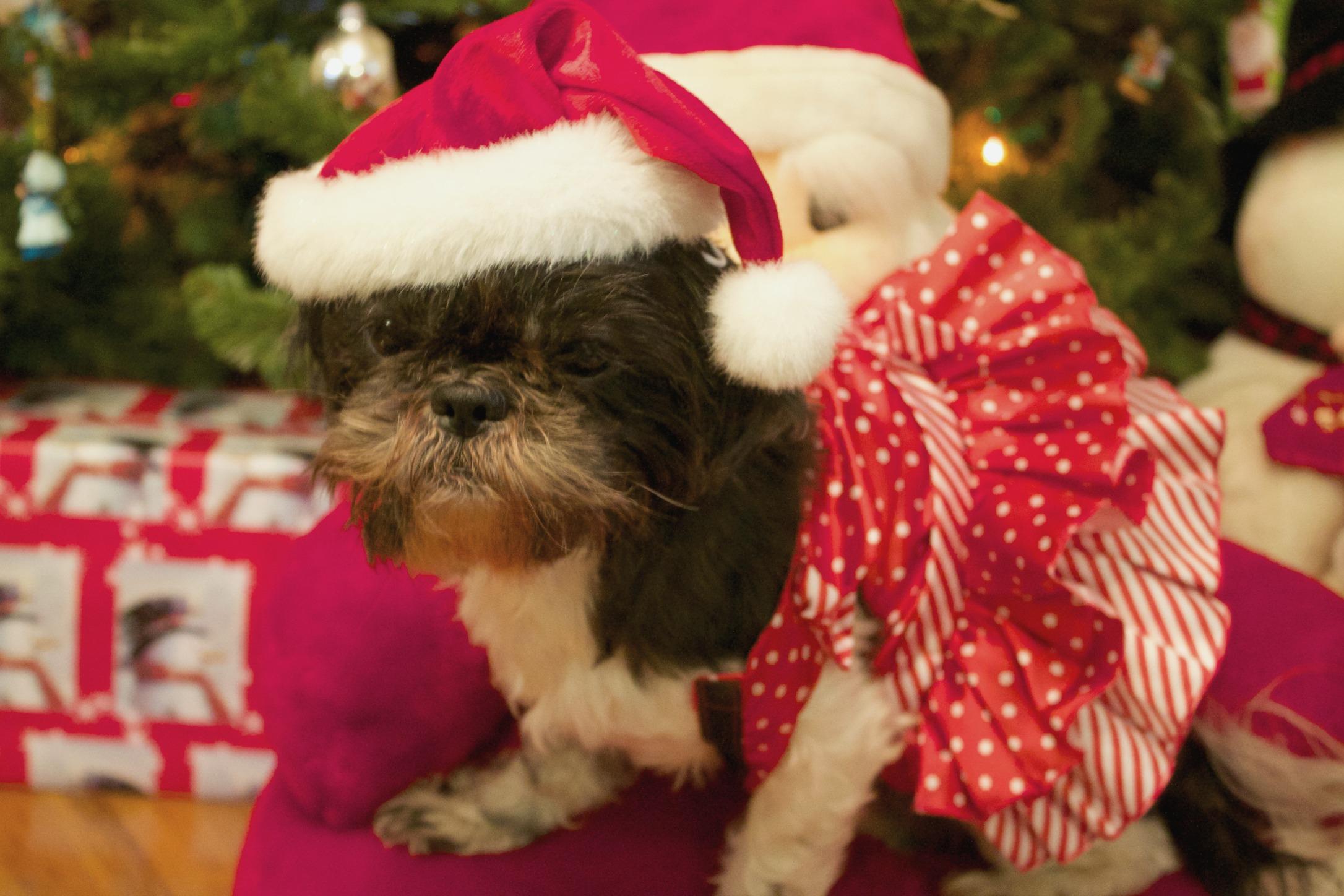 pet snacks-dog dressed up as Santa