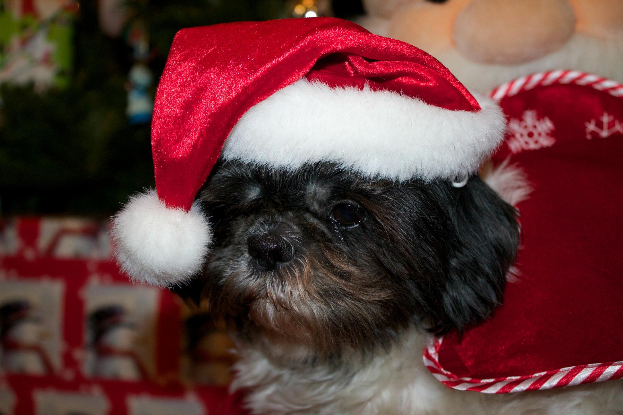pet snacks-dog with santa