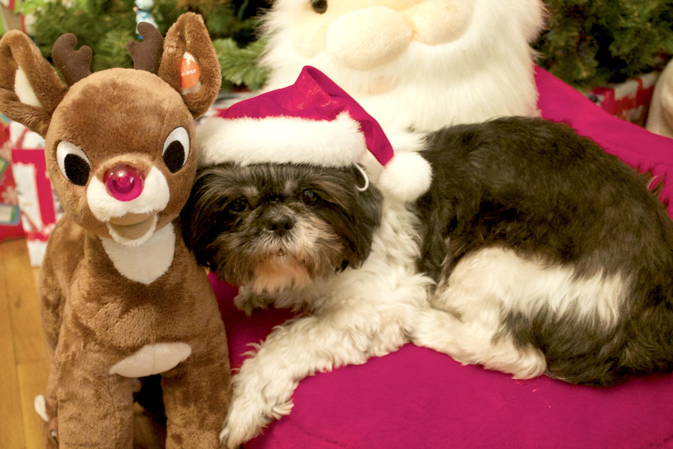 pet snacks-dog with santa hat