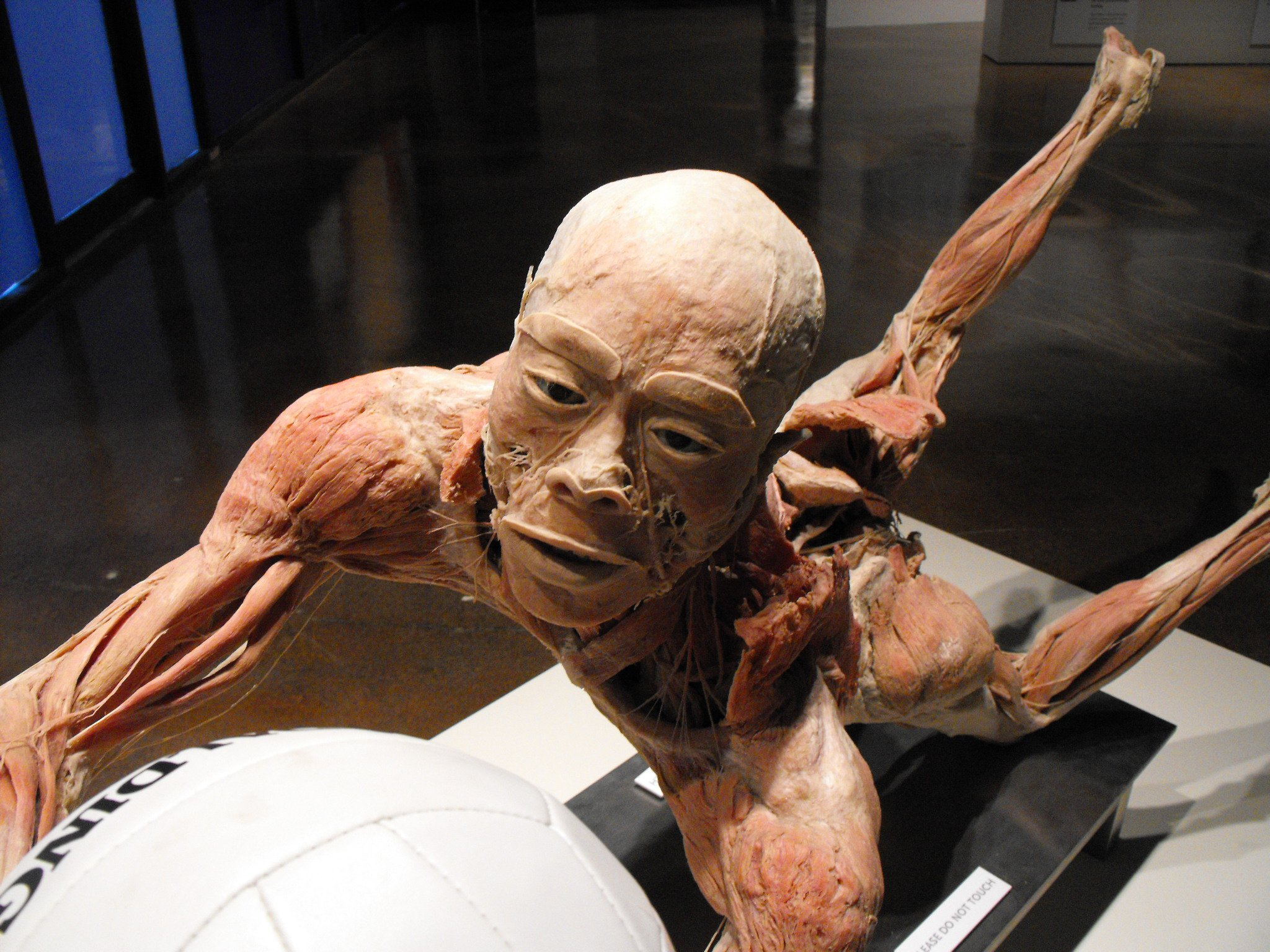 The Bodies Exhibit With Pictures Real Human Bodies Anatomy