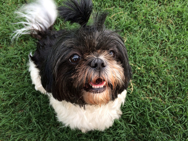 pictures of shih-tzu